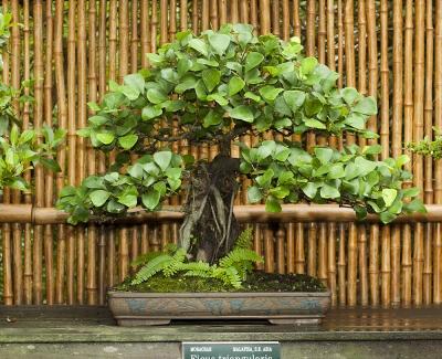 Ficus-triangularis