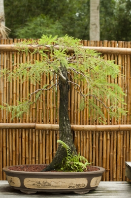 selby_bonsai_exhibit_1_20120214_1122891519