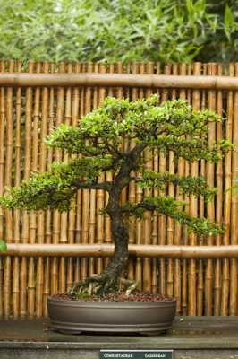 selby_bonsai_exhibit_2_20120214_1806239395